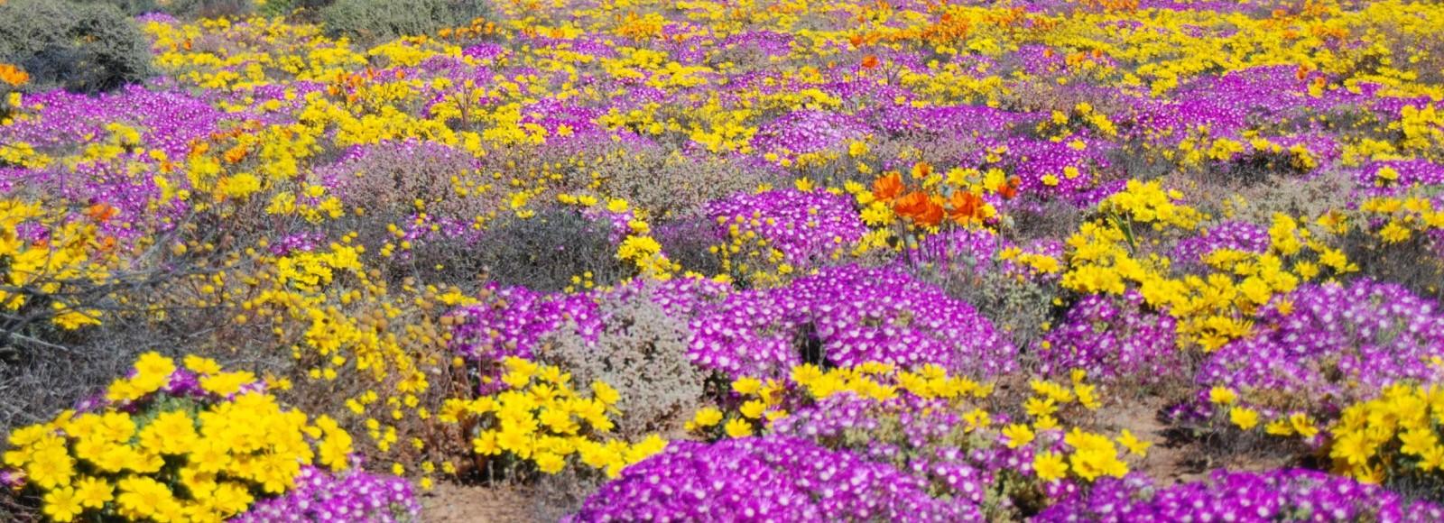 1 namaqualand spring flower tours